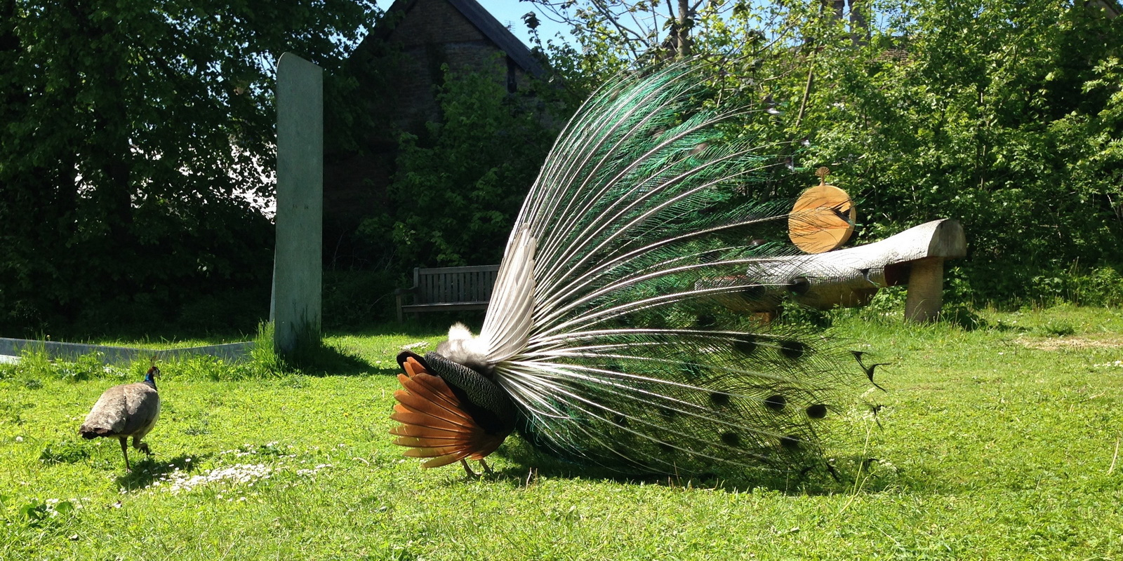 Pea hen and peacock bum by Tanvir Bush