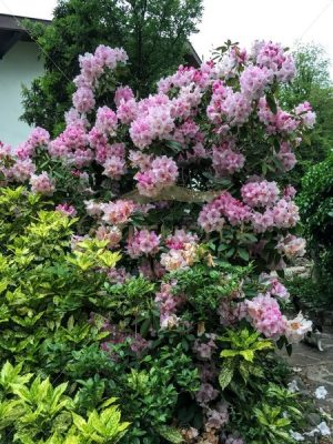 Light pink azaleas, France 1 - Get IT Write International