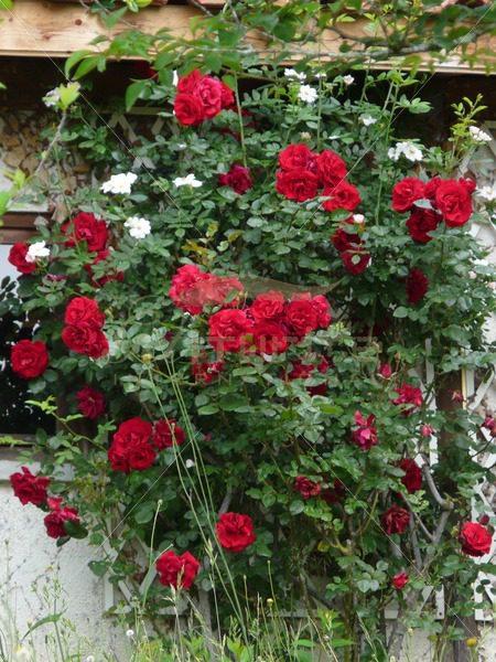 Red rose bush - Get It Write International