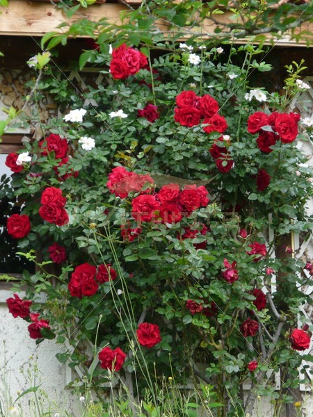 Red rose bush - Get It Write International