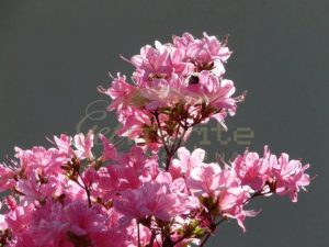 Azaleas in sunshine France - Get IT Write International