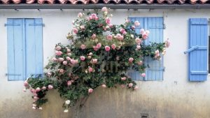 Pink roses over blue shutters - Get IT Write International