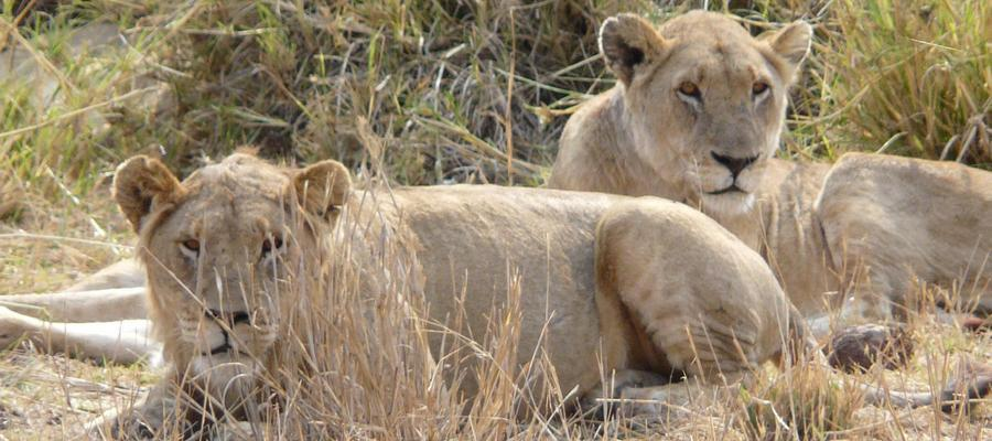 Two-Lionesses-900x400